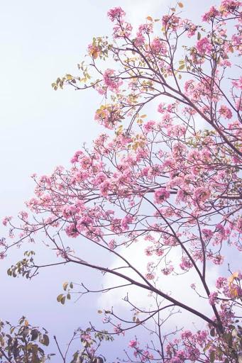 HOA KÈN HỒNG NỞ RỘ TRÊN CÁC TUYẾN ĐƯỜNG THÀNH PHỐ